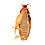Cockroach digestive system Stock Photos