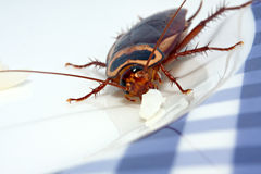 Cockroach dining Stock Photos