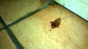 Cockroach dying. On a floor stock video footage