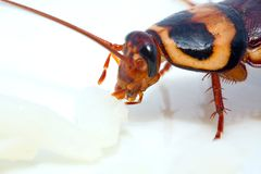 Cockroach eating Stock Images