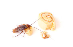 Cockroach eating a bread on white background Royalty Free Stock Images