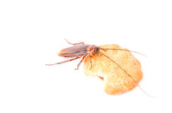 Cockroach eating a cookies on white background Royalty Free Stock Image