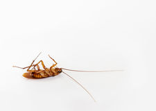 Cockroach Exterminated Stock Photography