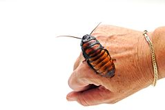 Cockroach on Hand Royalty Free Stock Photography