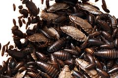 Cockroach Infestation Royalty Free Stock Images