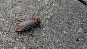 Cockroach insect on road. A Cockroach insect on road stock video footage