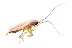Cockroach isolated Royalty Free Stock Photography