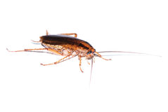 Cockroach isolated Stock Photography