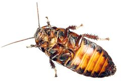 Cockroach isolated on white Royalty Free Stock Photography
