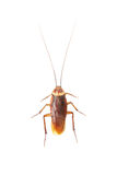 Cockroach. Isolated on white background stock photography