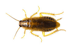 Cockroach isolated Stock Image