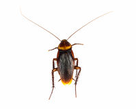 Cockroach. Isolated on a white background royalty free stock image