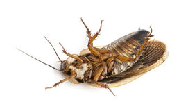 Cockroach lying on back Stock Photography