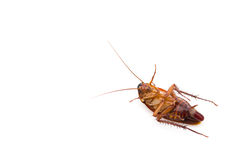 Cockroach lying. With egg in bottom on white Stock Photography