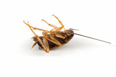 Cockroach lying isolated on white background. Stock Photos