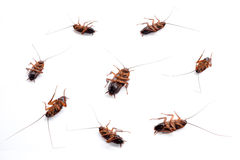 Cockroach masses dead isolate on white background Stock Photography
