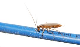 Cockroach net bug Royalty Free Stock Photo