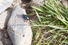 Cockroach over a stone near green grass Royalty Free Stock Photo