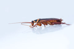 Cockroach side-view Royalty Free Stock Photography