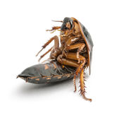 Cockroach sitting Royalty Free Stock Images