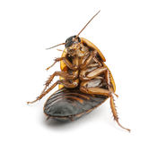 Cockroach sitting Royalty Free Stock Image