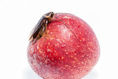 Cockroach sitting and eating on a red apple (focus on cockroach). Image isolated on white, studio background Stock Photography
