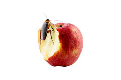 Cockroach sitting and eating on a red apple Image isolated on wh Royalty Free Stock Images