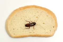 Cockroach on a slice of bread Royalty Free Stock Image