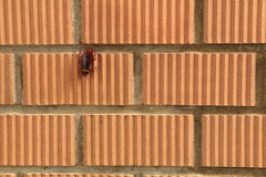 A Cockroach stays on orange brick wall Royalty Free Stock Images