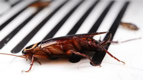 Cockroach struggling on a catcher. Close up stock video