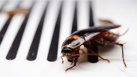 Cockroach struggling on a catcher closeup. Cockroach struggling on a catcher close up stock video footage