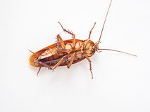 Cockroach supine on a white background. Stock Photos