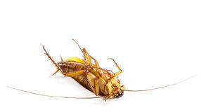 Cockroach turn face up Royalty Free Stock Photos