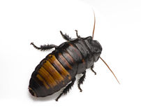 Cockroach on White Royalty Free Stock Photos