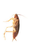Cockroach on white background. Cockroach isolated on white background stock photo