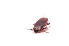 Cockroach. On a white background stock image