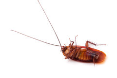 Cockroach. On a white background royalty free stock images