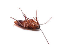 Cockroach. On a white background royalty free stock image