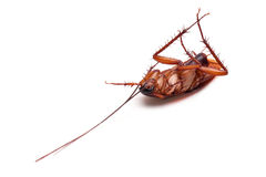 Cockroach. On a white background royalty free stock photo