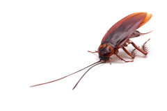 Cockroach. On a white background royalty free stock photos