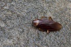 Cockroache Fotografía de archivo libre de regalías