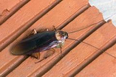 Cockroache Zdjęcia Royalty Free