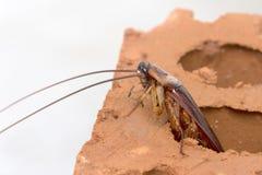 Cockroache Fotografía de archivo