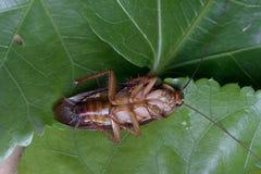 Cockroache nieżywy Zdjęcia Stock