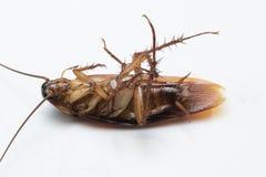 Cockroache tot auf weißem Hintergrund Lizenzfreies Stockbild