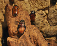 Cockroaches Royalty Free Stock Photo