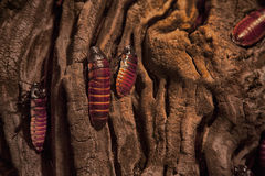 Cockroaches. On an old piece of wood Stock Photography