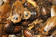 Cockroaches archimandrita tessellata Royalty Free Stock Image