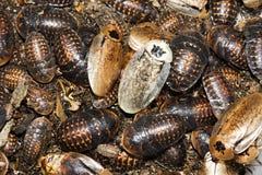 Cockroaches archimandrita tessellata Stock Image