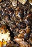 Cockroaches archimandrita tessellata Stock Images